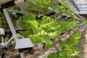 lettuce hydroponics