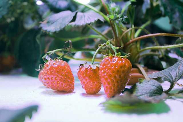 strawberry in hydroponic garden